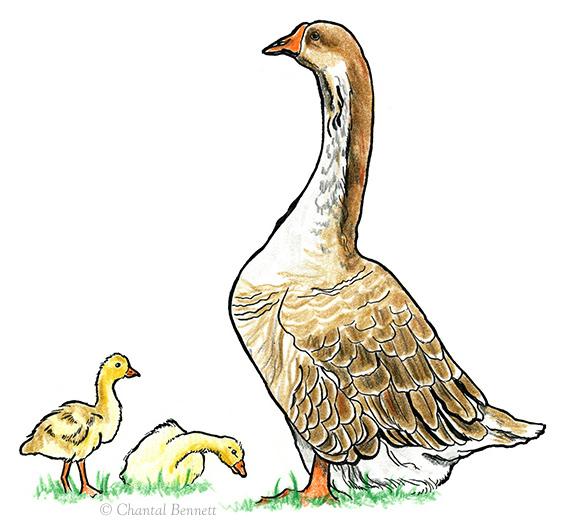 geese_web